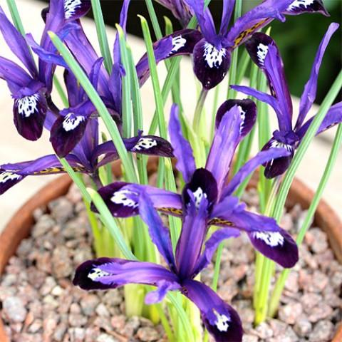 Ірис reticulata Blue Note фото