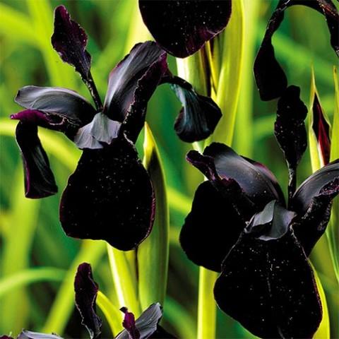 Ірис Chrysographes Black Form фото