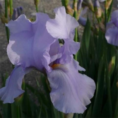 Ірис Germanica Blue Sapphire фото