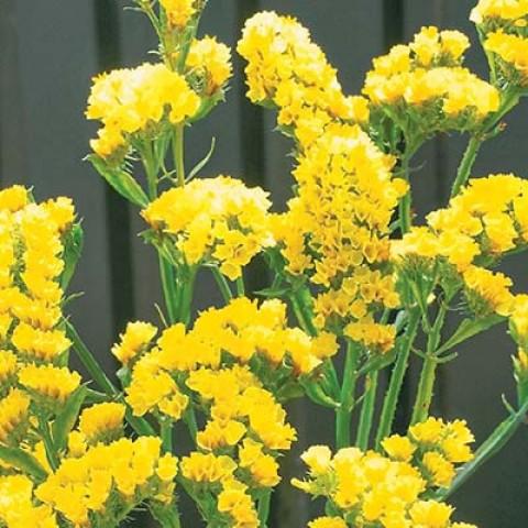Кермек Золотий Пісок жовлтий фото