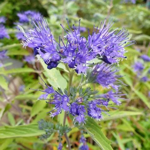 Каріоптеріс Kew Blue фото