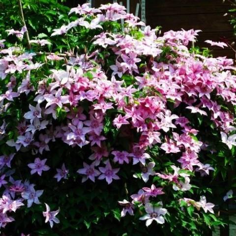 Клематіс Hagley Hybrids фото