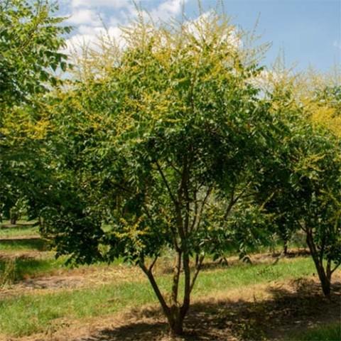 Кельрейтерія волотиста (мильне дерево) фото