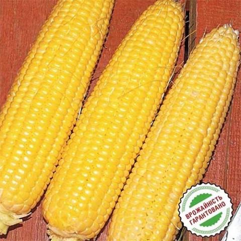 Кукурудза Світ Парадайз фото