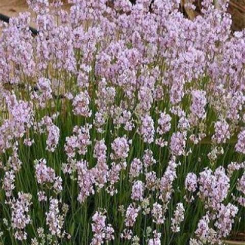 Лаванда Loddon Pink фото