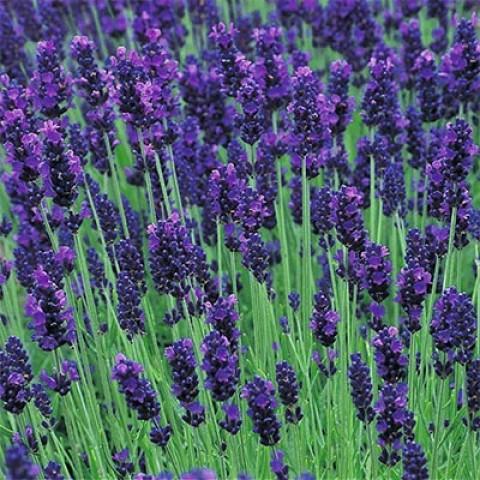 Лаванда Lavance Purple фото
