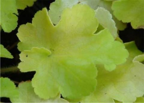 Гейхера Lemon Blush фото