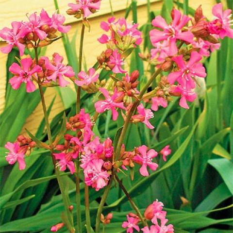 Ліхніс віскарія Рожевий Блиск фото