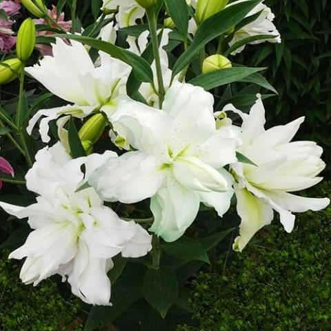 Лілія Lotus Beauty фото