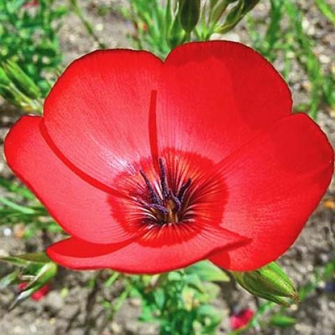 Льон великоквітковий, червоний фото