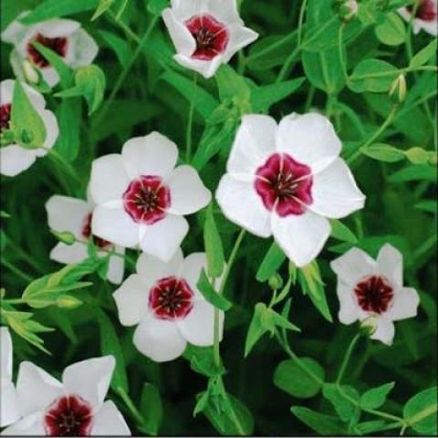 Льон великоквітковий білий з червоним вічком фото