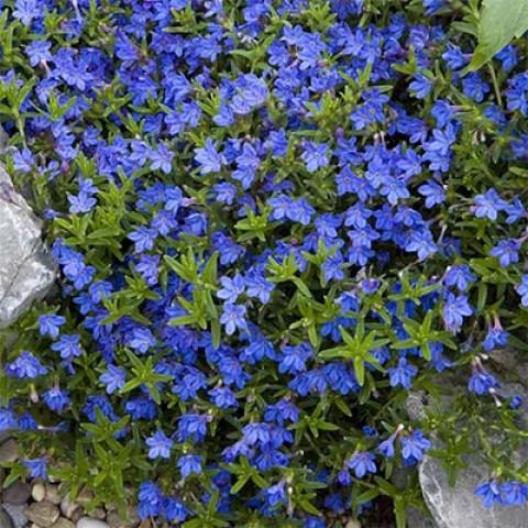 Літодора Heavenly Blue фото