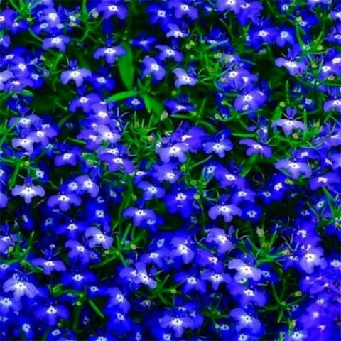 Лобелія Hot Blue фото