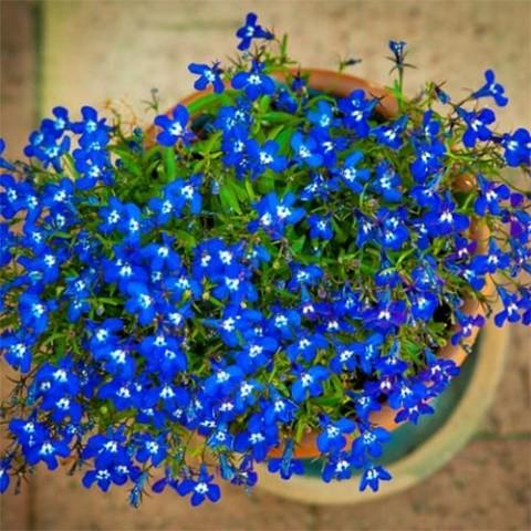 Лобелія ампельна Синій каскад фото