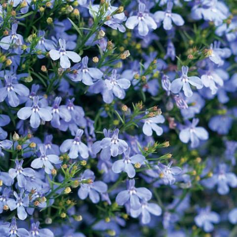 Лобелія Laguna Trailing Blue фото