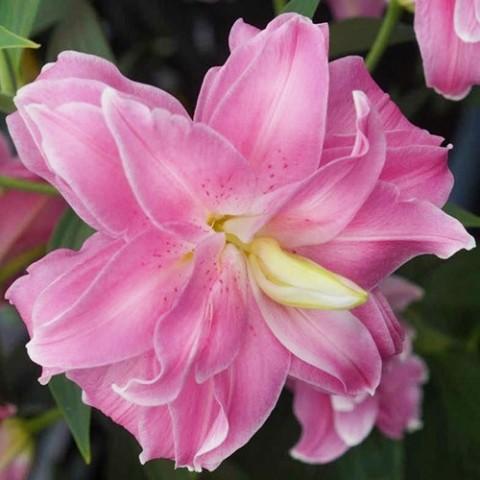 Лілія Lotus Joy фото