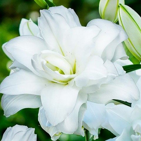Лілія Lotus Pure фото