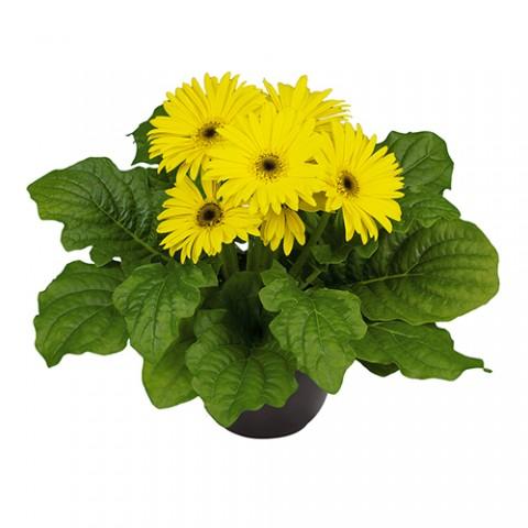 Гербера Midi Yellow Bl. C. фото