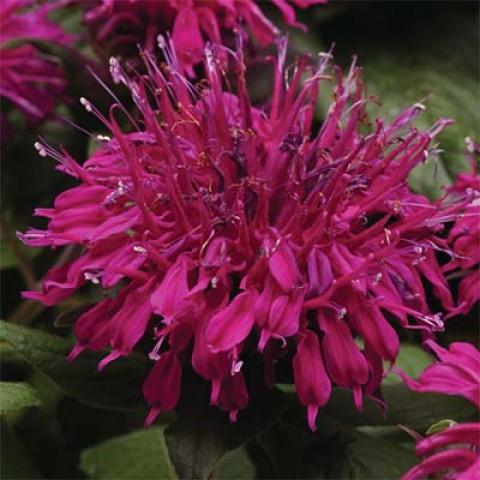 Монарда Balmy Purple фото