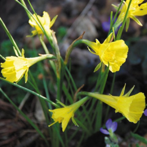 Нарцис Bulbocodium фото