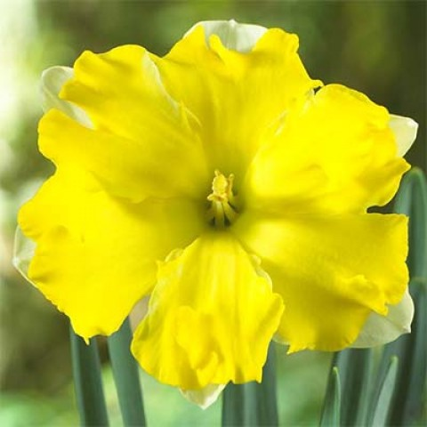 Нарцис Pretty in Yellow (горщик 9 см) фото