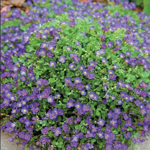 Обрієта гібридна Весняний Килимок фото