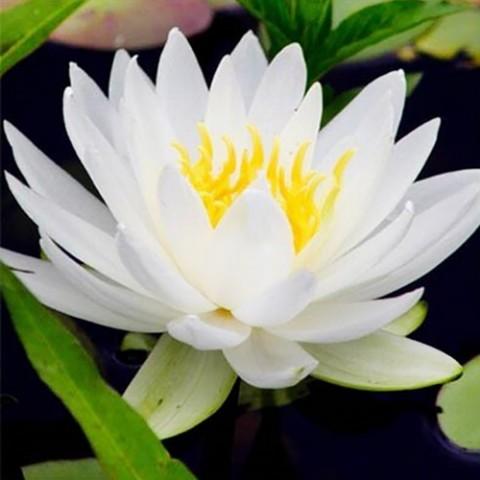 Водяна лілія Odorata Alba фото