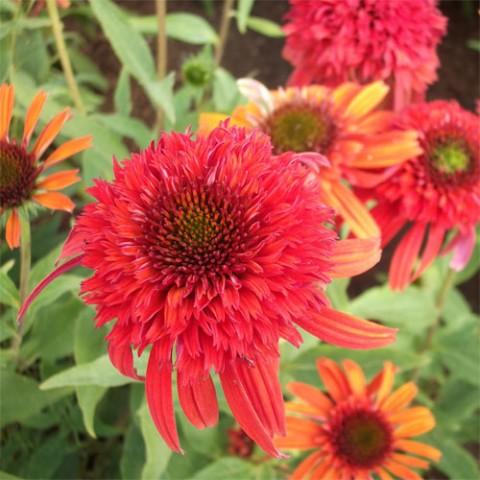 Ехінацея Orangeberry фото