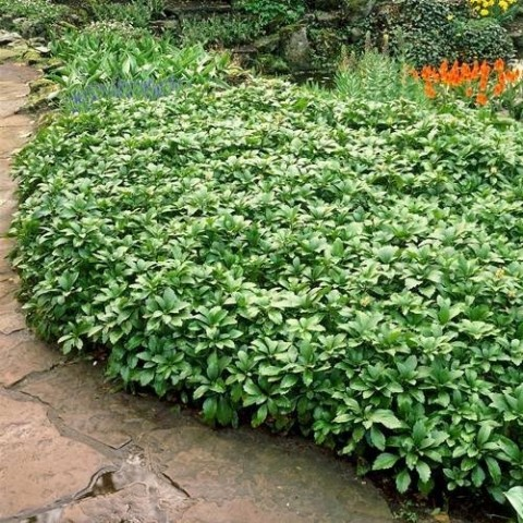 Пахізандра Green Carpet фото