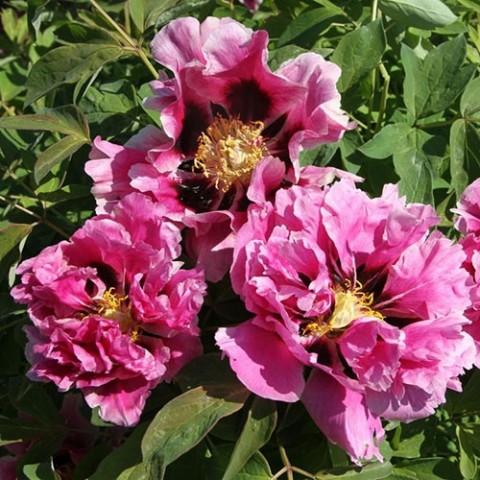 Півонія Рока Full of Pink Flower фото