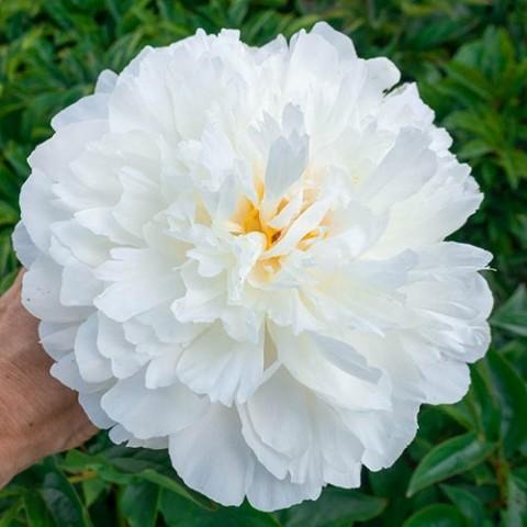 Півонія White Sarah Bernhard фото