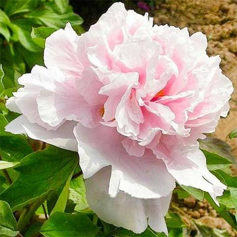 Півонія Zhaos Pink Zhao Fen деревовидна фото