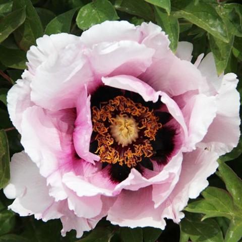 Півонія Рока Icy Heart Pink Lotus фото
