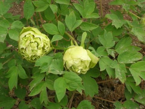 Півонія Pea Green Dou Lu деревовидна фото