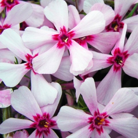 Флокс Apple Blossom фото