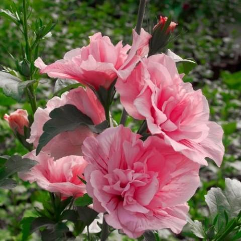 Гібіскус сирійський Pink Chiffon фото