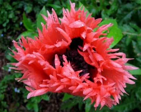 Мак Pink Ruffles фото