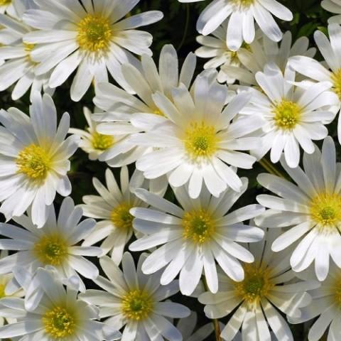 Анемони White Splendour фото