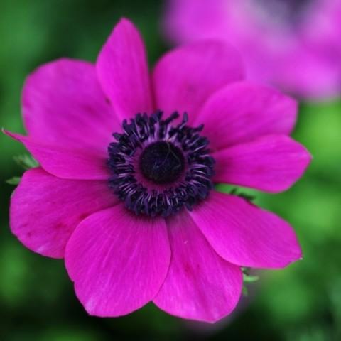 Анемона Sylphide фото