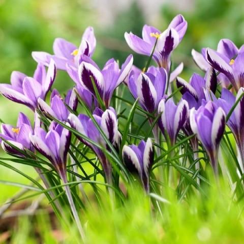 Крокус Spring Beauty фото