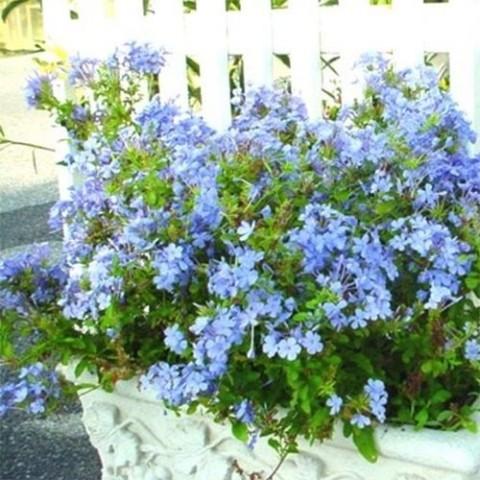 Плюмбаго Imperial Blue фото