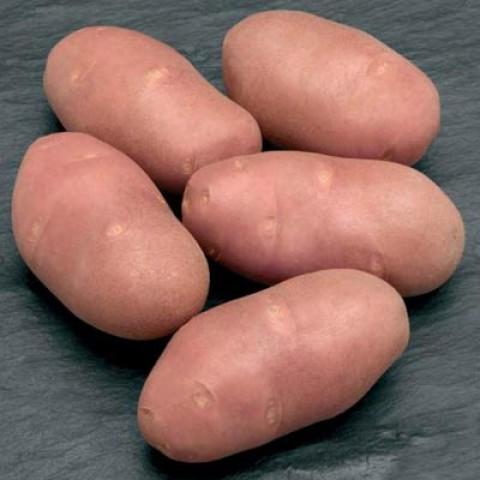 Картопля Ред Скарлет  фото