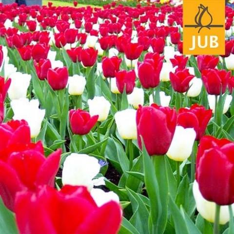 Мікс ландшафтний Reason to be Cheerful (Брендові цибулини Jub Holland) фото
