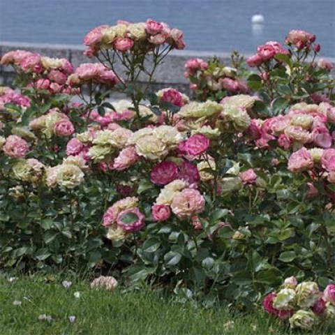 Троянда Acropolis (саженец) фото