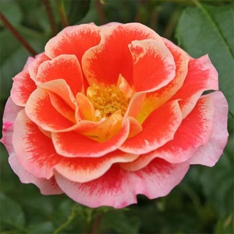 Троянда Airbrush фото