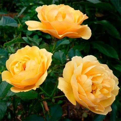 Троянда Amber Queen фото