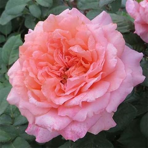 Троянда Amour De Molene фото