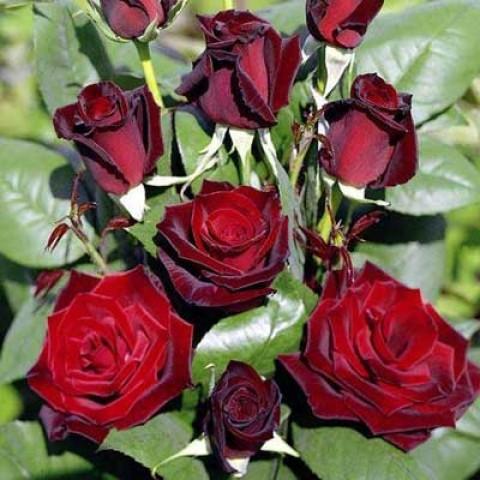 Троянда Barkarole фото