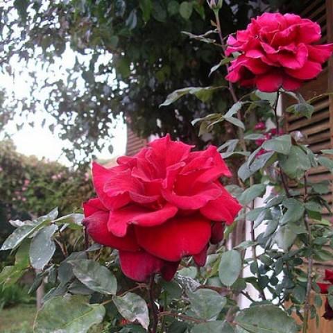 Троянда Clb. Grand Chateau фото