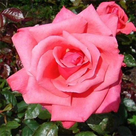 Троянда Abbeyfield Rose фото